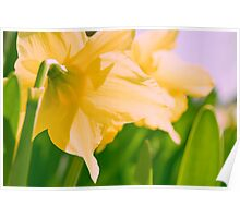 daffodil yellow flower blooming in the bright sunshine Poster