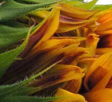 Sunflower decorative flower which begins to bloom Sticker