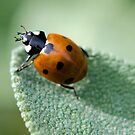Ladybird on Sage by mikebov