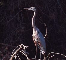 Great Blue Heron by Krissa Klein