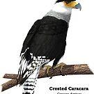 Crested Carara by Ken Gilliland