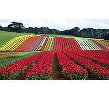 Tulips at Table Cape Photographic Print