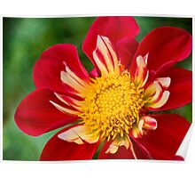Cheerful dahlia Poster