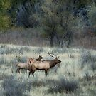 Elk at the Slippery Ann, Montana by Donna Ridgway