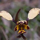 Orchid close up by indiafrank