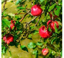 Late Summer Apples Photographic Print