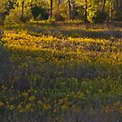 Goldenrod Field at Humber Bay Park East by Jessica Dzupina