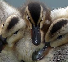 Three Ducklings by ChameleonImages