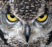Look Into My Eyes: (African Spotted Eagle Owl) by ChameleonImages