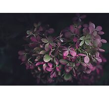 Night Hydrangea Photographic Print