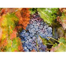 Grapes in the Vineyard Photographic Print