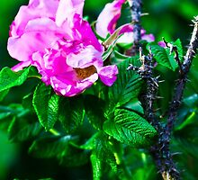 Protected Rose by Kristen McFeeters