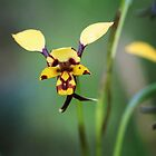 Leopard orchid by Keren Smithies