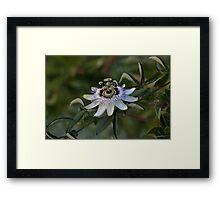 Passion Flower 6400 Framed Print