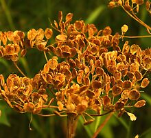 Cow Parsnip Seeds In The Fall by Sandra Foster