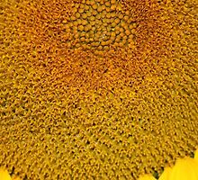 Sunflower Macro by Sandra Foster