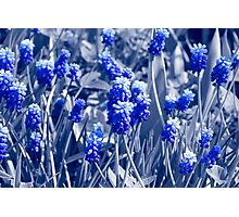 Muscari blue flowers, black white photo with blue toning Photographic Print