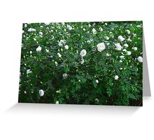 beautiful wild rose Bush with white flowers Greeting Card