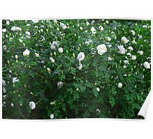 beautiful wild rose Bush with white flowers Poster