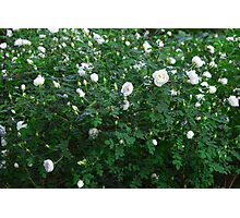 beautiful wild rose Bush with white flowers Photographic Print