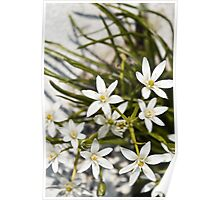 white flowers bloom  Poster