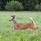 White-tailed deer in flight by Jim Cumming