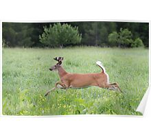 White-tailed deer in flight Poster