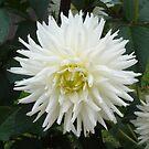 LARGE WHITE PLEASURE by scholara
