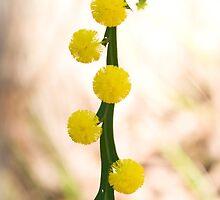 Golden wattle by Kell Rowe