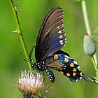 Pipevine Swallowtail Butterfly by jozi1