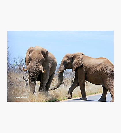 CONFRONTATIONS -  THE AFRICAN ELEPHANT – Loxodonta Africana Photographic Print