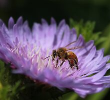 Bee on purple flower by hbphotography