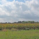Clouds And Corn by Jack Ryan