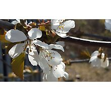 Cherry blossoms in the sun Photographic Print