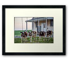 Cow Swings Framed Print