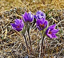 Prarie Crocus in Canada's Yukon by Yukondick