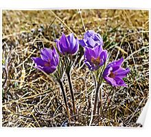Prarie Crocus in Canada's Yukon Poster