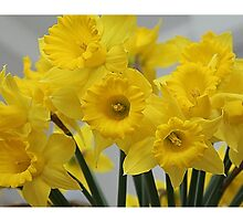Spring Daffodils by Chris D Holland