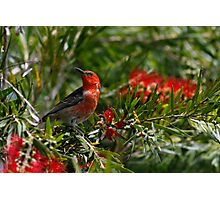 Scarlet Honeyeater Photographic Print