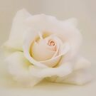 Soft Touch Cream Rose by AnnDixon