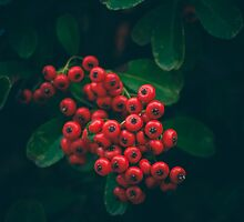 Berries I by CarlaSophia