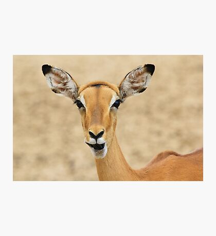Impala Fun - Wildlife Humor from Africa.  Photographic Print