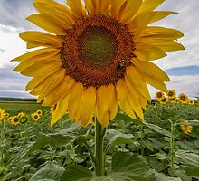 Sunflower growing in a field by Robert Wirth