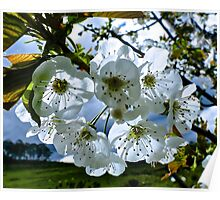 JUST PHOTOS ~ Sunlit Cherry Blossoms by tasmanianartist Poster