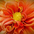 Orange Dahlia by Gary Gray
