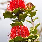 Scarlett Banksia _(banksia coccinea)_ by pennyswork