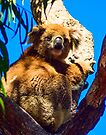 Koala on Raymond Island by Yukondick