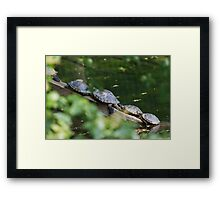 tortoise on lake Framed Print