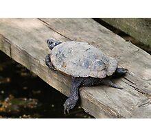 tortoise on lake Photographic Print