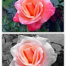 Rose Greetings  by ©The Creative  Minds